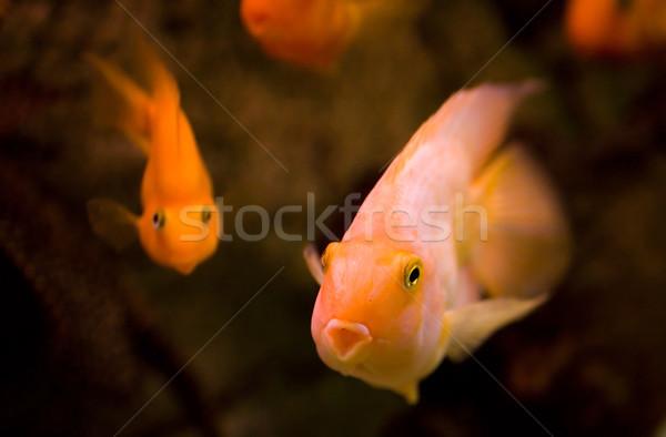 рыбы воды природы оранжевый Сток-фото © sapegina