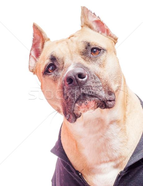 American staffordshire terrier Stock photo © sapegina