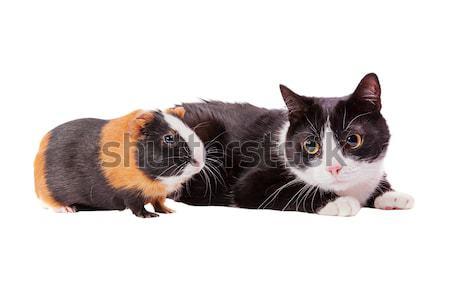 cavy and cat Stock photo © sapegina