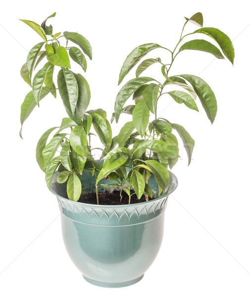 Mandarim árvore planta crescente isolado branco Foto stock © sapegina