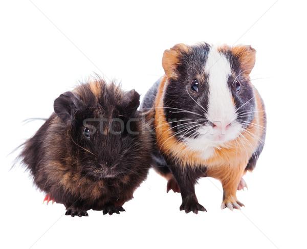 два Гвинея свиней домашние Постоянный вместе Сток-фото © sapegina