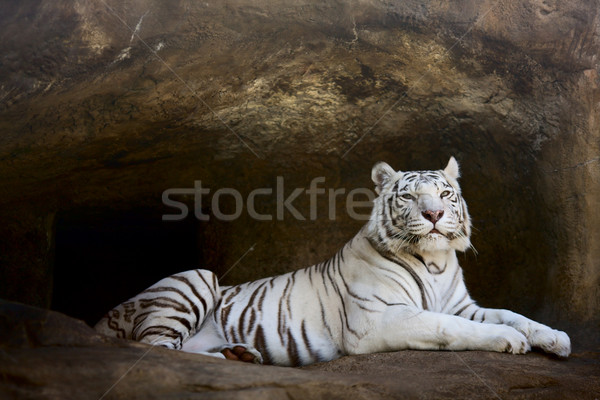 Blanche tigre nature chat portrait animaux Photo stock © sapegina