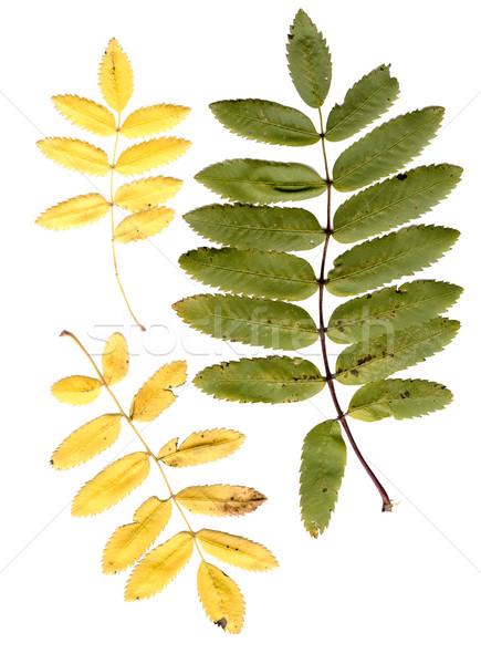 rowan tree leaves Stock photo © sapegina