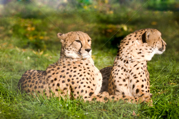Couple of cheetahs Stock photo © sapegina