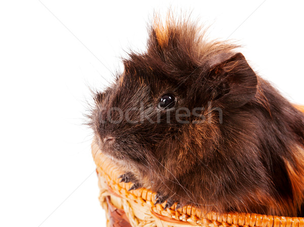 cavy pet closeup Stock photo © sapegina