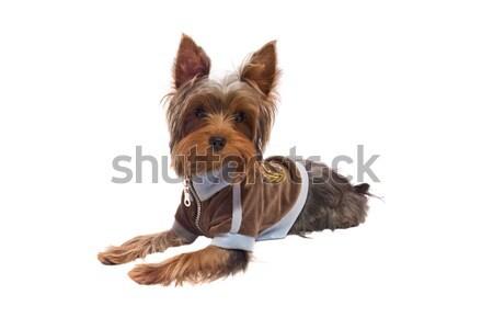 Yorkshire terrier sessão piso jaqueta Foto stock © sapegina