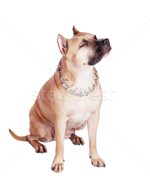 staffordshire bull terrier Stock photo © sapegina