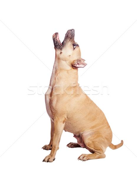 staffordshire terrier howl Stock photo © sapegina