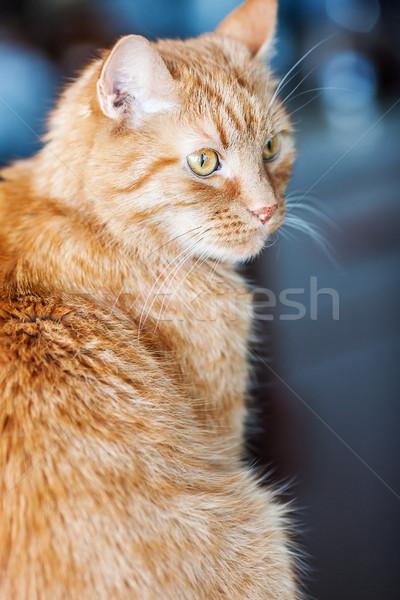 Eski kırmızı kedi portre bilge saç Stok fotoğraf © sapegina