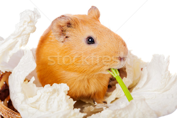 Guinea pig eating Stock photo © sapegina