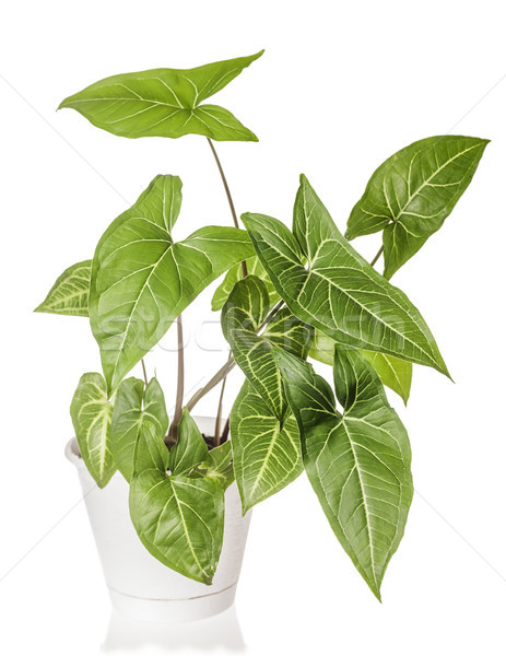 Syngonium plant growing Stock photo © sapegina