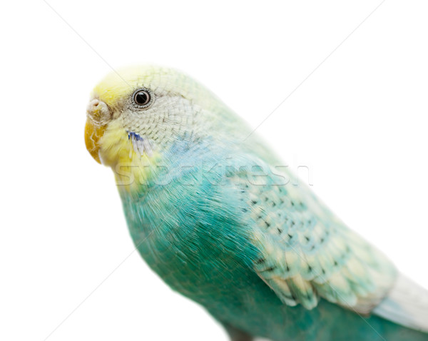 green budgerigar isolated Stock photo © sapegina
