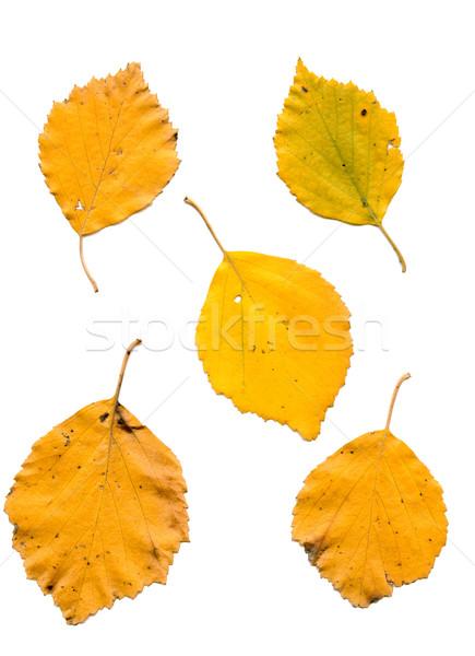 Nyírfa levelek ősz különböző izolált fehér Stock fotó © sapegina