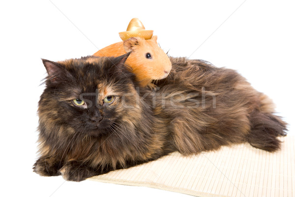cavy and cat Stock photo © sapegina