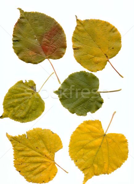 lime leaves Stock photo © sapegina