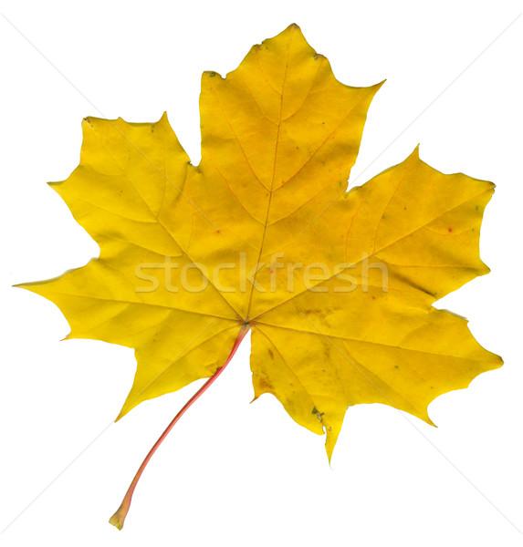 Akçaağaç yaprağı sonbahar yalıtılmış beyaz yaprakları kırmızı Stok fotoğraf © sapegina