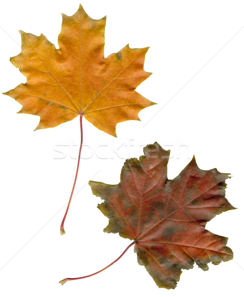 maple leaves Stock photo © sapegina