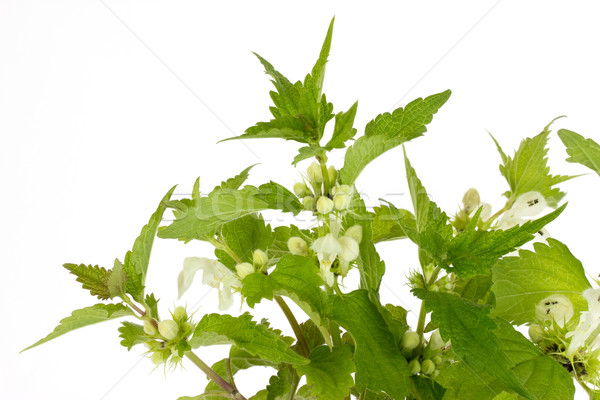 Closeup of stinging nettles Stock photo © Saphira