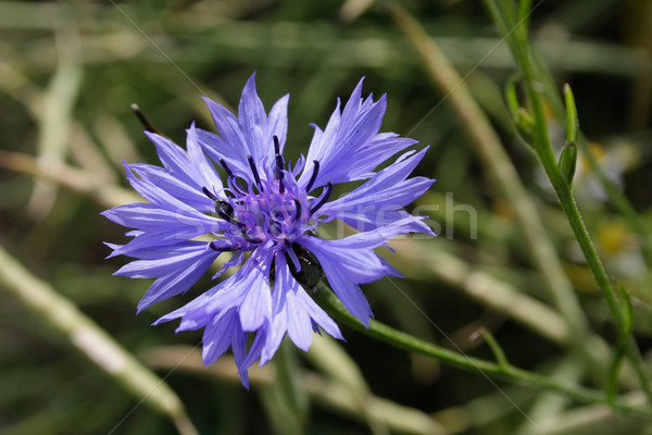 Cornflower Stock photo © Saphira