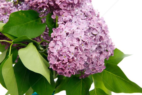 Közelkép virágok fehér virágok természet növény Stock fotó © Saphira