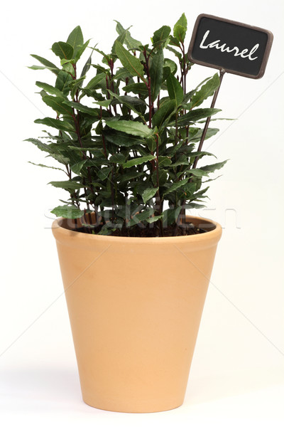 Laurel arbusto vaso etiqueta árvore folhas Foto stock © Saphira