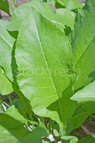 Tabak plant outdoor shot blad Stockfoto © Saphira