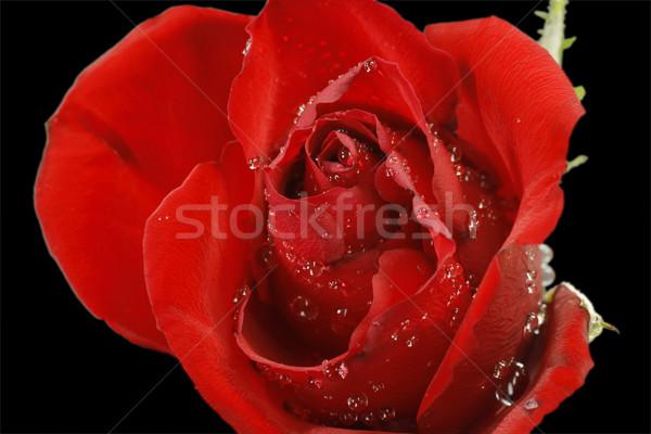Rose blossom Stock photo © Saphira