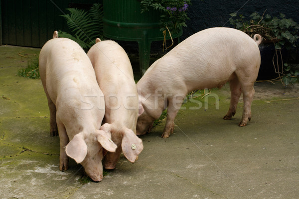 Hogs Stock photo © Saphira