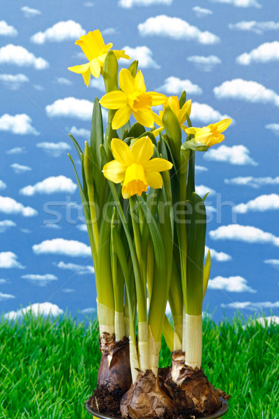 Daffodil Stock photo © Saphira