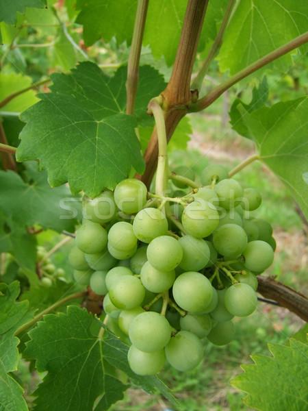 Beyaz üzüm asma şarap Stok fotoğraf © Saphira