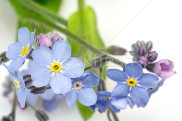 Flores branco flor azul floral Foto stock © Saphira