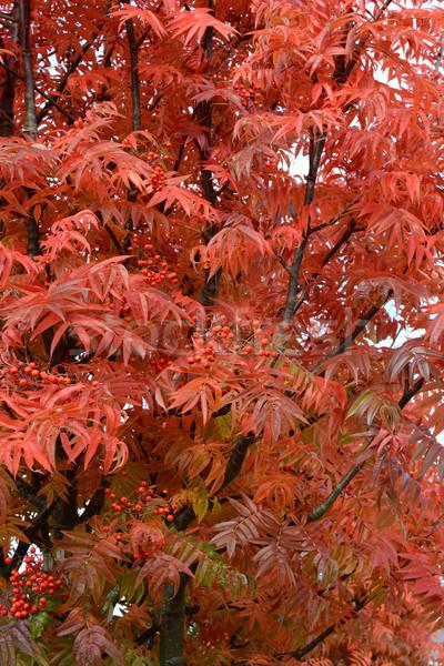 Rowan tree with bright red leaves Stock photo © sarahdoow