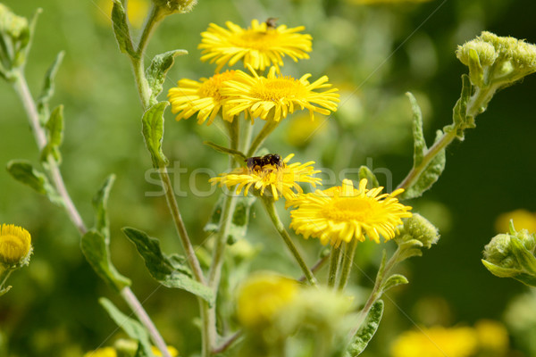 Sarı çiçekler küçük arı nektar Stok fotoğraf © sarahdoow