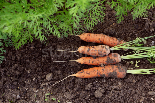 Four carrots newly harvested from vegetable garden Stock photo © sarahdoow