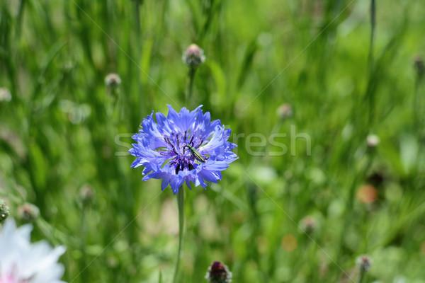 Zöld virág bogár kék búzavirág virágzik Stock fotó © sarahdoow