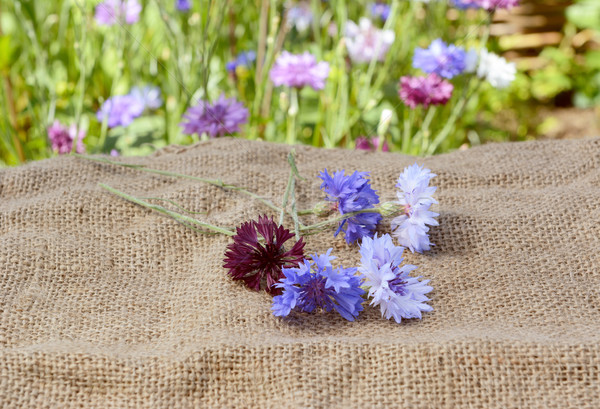 Freshly cut cornflowers scattered on a hessian sack Stock photo © sarahdoow