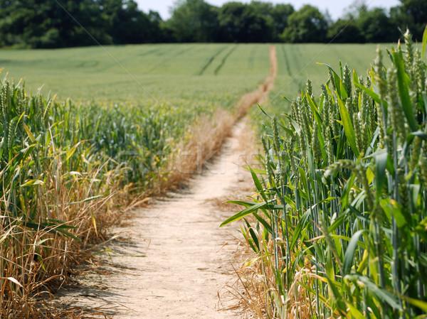 Footpath leading through a field of wheat Stock photo © sarahdoow
