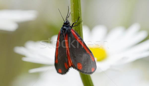 Red and black cinnabar moth  Stock photo © sarahdoow