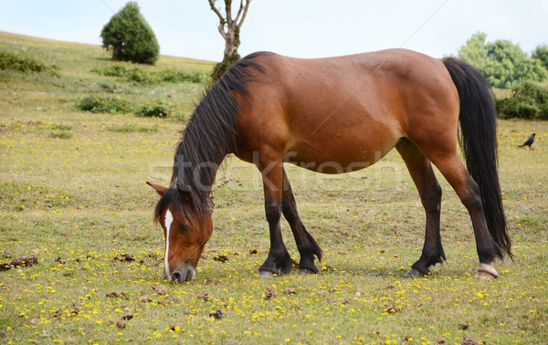 Stock photo: Bay pony in foal grazing in the New Forest