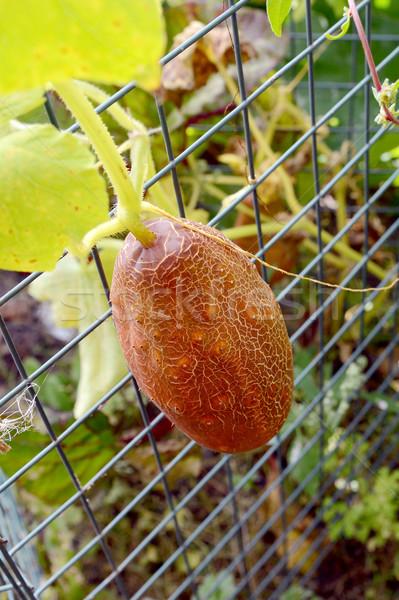 Marrom russo pepino crescente arame incomum Foto stock © sarahdoow