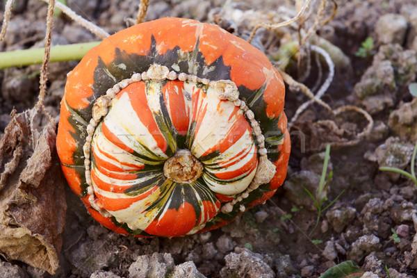 Turban squash vigne croissant légumes jardin Photo stock © sarahdoow