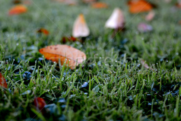 Rosée herbe automne laisse Photo stock © sarahdoow