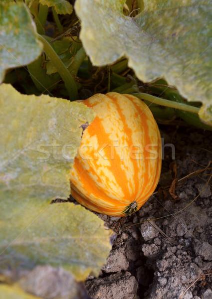 Rayé festival squash croissant laisse Bush Photo stock © sarahdoow