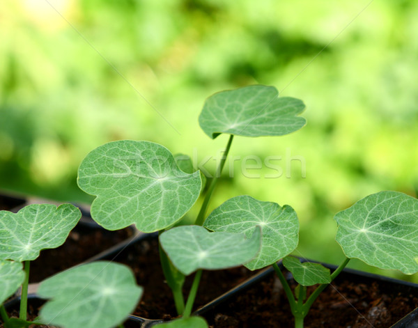 Yeşil yaprakları fidan parlak yeşil bokeh Stok fotoğraf © sarahdoow