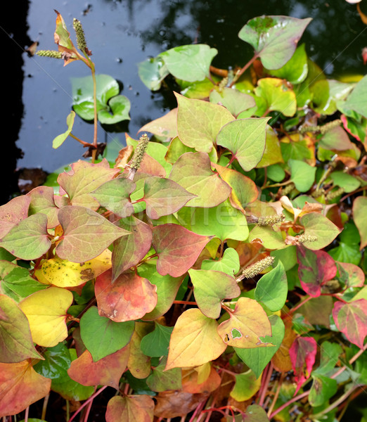 Chameleon plant with variegated fall leaves Stock photo © sarahdoow