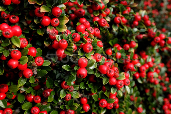 Bright red cotoneaster berries Stock photo © sarahdoow