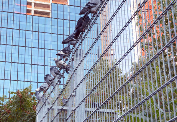 Nine pigeons roosting on a metal security fence Stock photo © sarahdoow