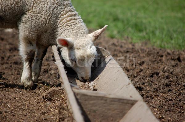 Foto stock: Cordeiro · alimentação · doce · primavera