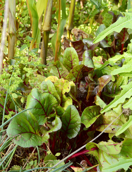 Beetroot growing surrounded by salad leaves Stock photo © sarahdoow