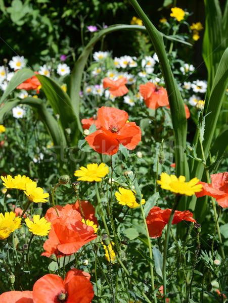Papaveri margherite mais prato fiori colorato Foto d'archivio © sarahdoow